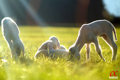 Walimex_85_lambs