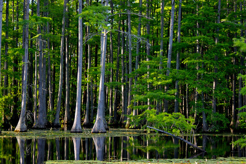 trees green reflections nc pond northcarolina cypress rhodes treescape rhodespond
