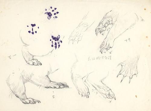 fig3. 鼬獾的腳部特寫,有蹼狀構造,腳印是實際押蓋上去的。