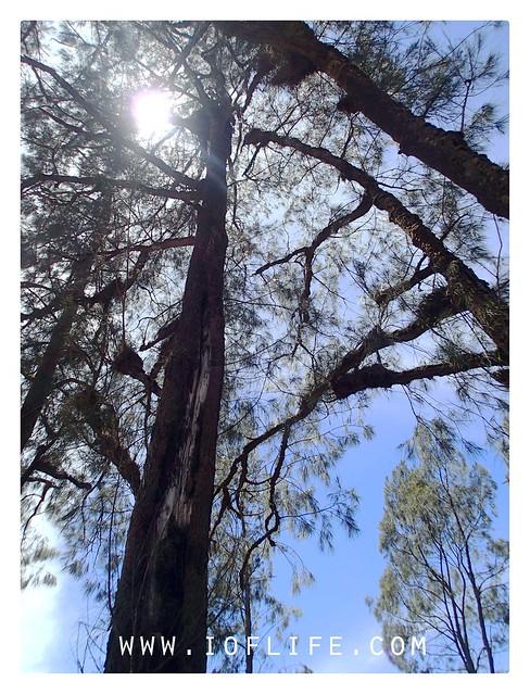 Pohon cemara di cemprp kandang