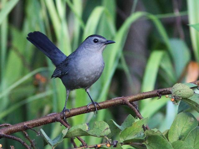 Gray Catbird 20131020