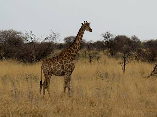 africa travel nature canon river geotagged nationalpark giraffe namibia etosha southernafrica giraffacamelopardalisangolensis 2013 giraffidae geomapped lindadevolder powershotsx40