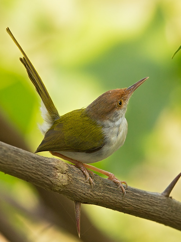 Common Tailorbird Sri Lanka  2013