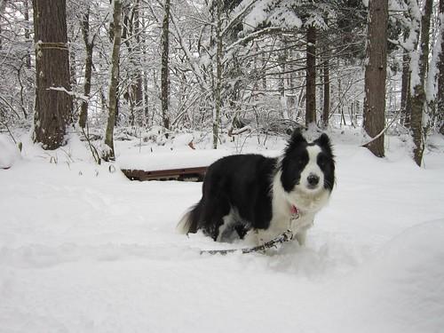 積雪の中のランディ 2013年12月19日9:12 by Poran111