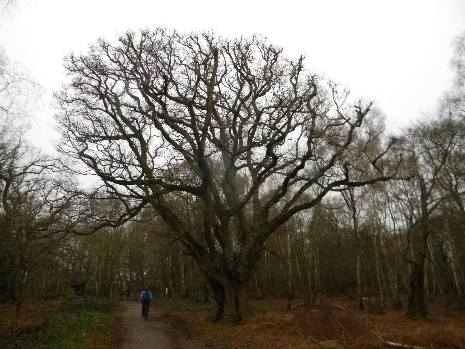 Big Tree Loughton to Epping