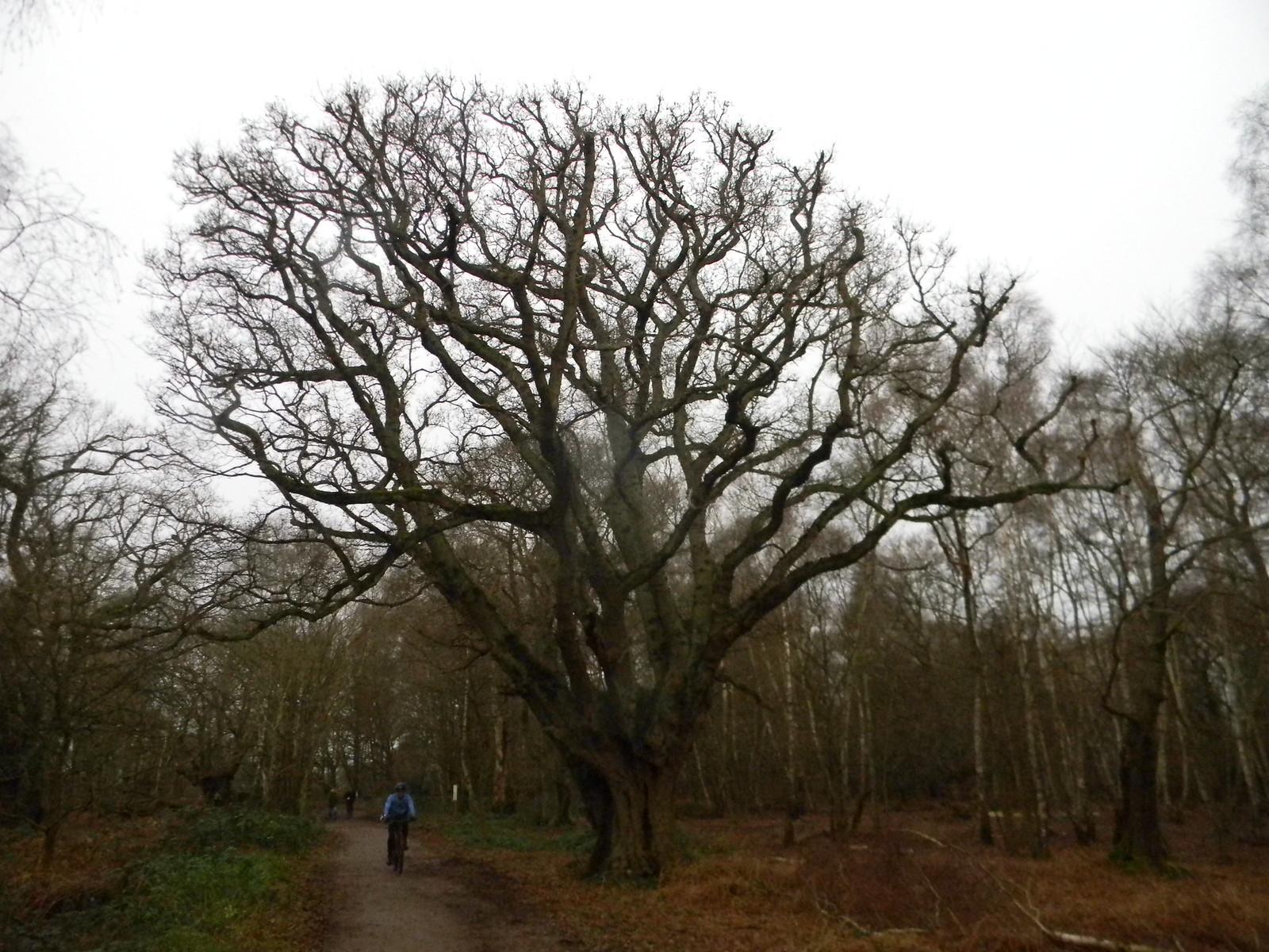 Big Tree Loughton to Epping