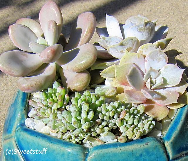 Graptopetalum amesthystenum 'Lavendar Pebbles', echeveria lilacina back right,graptopetaulum pachyphyllum in front 1
