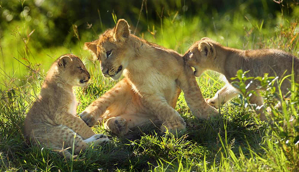 Lion cubs Masai Mara