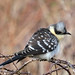 Great Spotted Cuckoo3