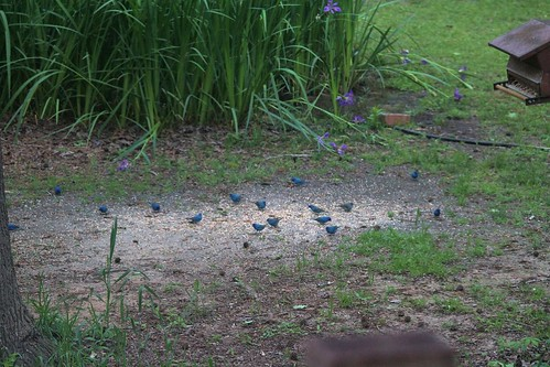 CrabAppleLane Indigo Buntings - April 15, 2014