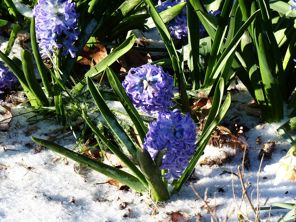 Hyacinth in the Snow