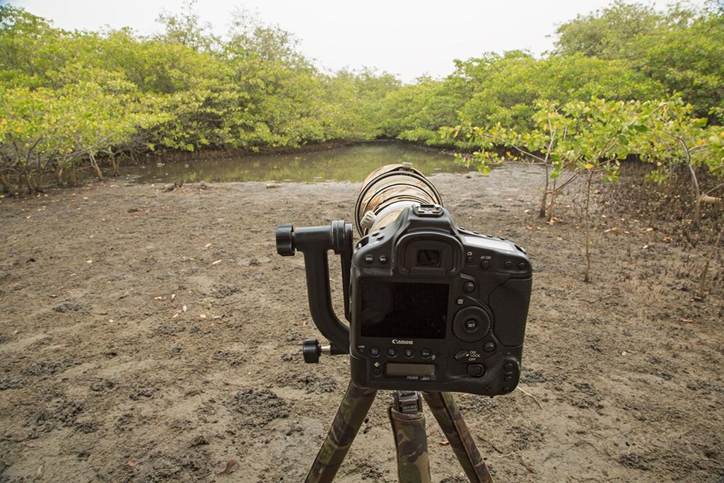 Painted Snipe hide Gambia