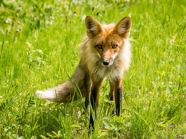 Red fox, Prince Albert National Park