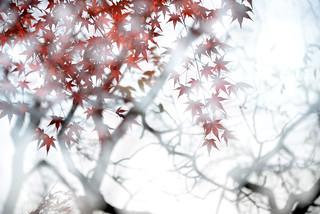 Maple 楓