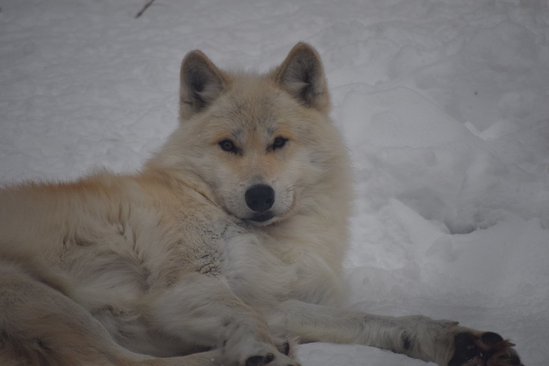 Fang, male wolf