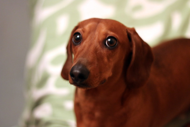 Rupert the miniature Dachshund