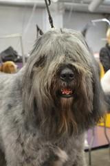 schnoodle(0.0), polish lowland sheepdog(0.0), tibetan terrier(0.0), glen of imaal terrier(0.0), irish wolfhound(0.0), cairn terrier(0.0), irish soft-coated wheaten terrier(0.0), dog breed(1.0), animal(1.0), dog(1.0), pet(1.0), standard schnauzer(1.0), vulnerable native breeds(1.0), bouvier des flandres(1.0), catalan sheepdog(1.0), sapsali(1.0), cã£o da serra de aires(1.0), bearded collie(1.0), carnivoran(1.0), terrier(1.0),