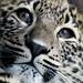 Leopard Cub by Sandra Wildeman