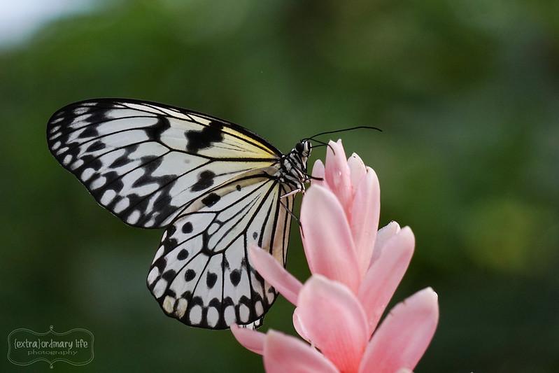 butterflies-17-wm