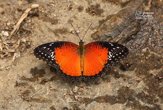 The Red Lacewing ♂ - ผีเสื้อกะทกรกแดง