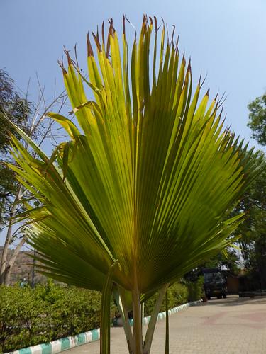 india plant leaf palm karnataka