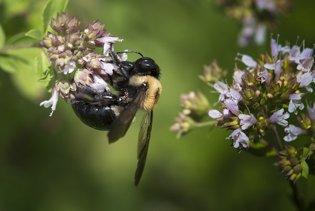 Large Bee - 061916-130836