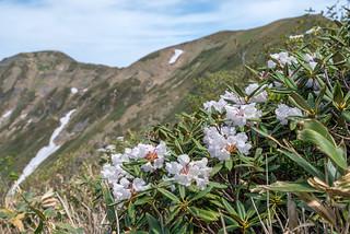 白く透き通ったアズマシャクナゲの花弁