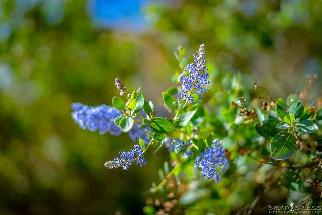 Pretty little purple flowers (Ceanothus Tomentosus)