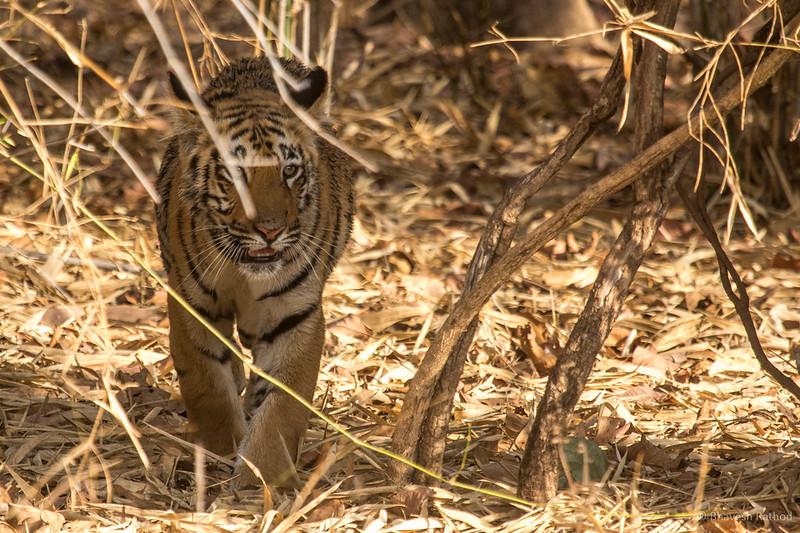Maya's cub - Tadoba Andhari Tiger Reserve