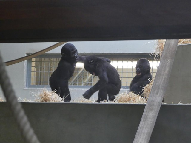 Gorillas, Wilhelma