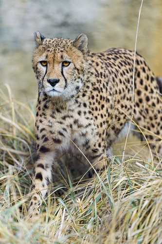 Cheetah standing in the high dry grasses II by Tambako the Jaguar