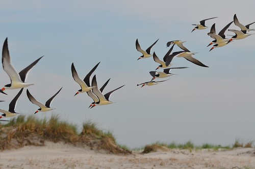Graceful flight of Black Skimmers