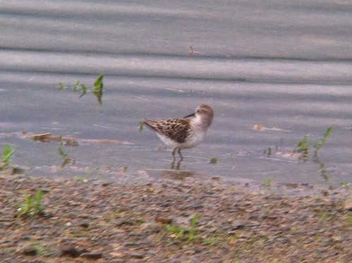 Semipalmated Sandpiper - Leaser Lake, Lehigh county