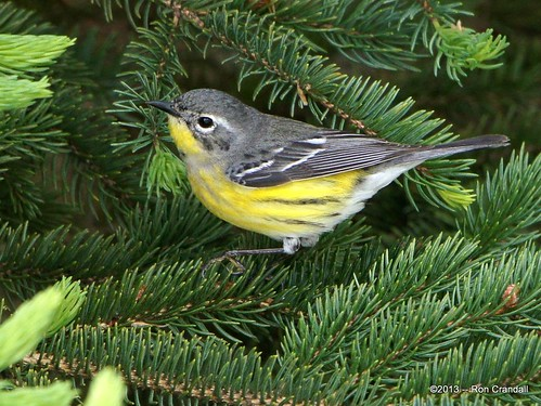 Another backyard warbler