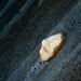 Leopard Seaslug