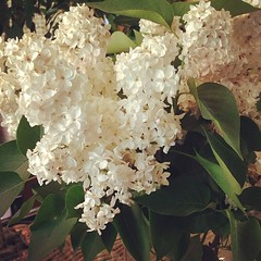 White lilacs, delicate, sweetly scented, beautiful.