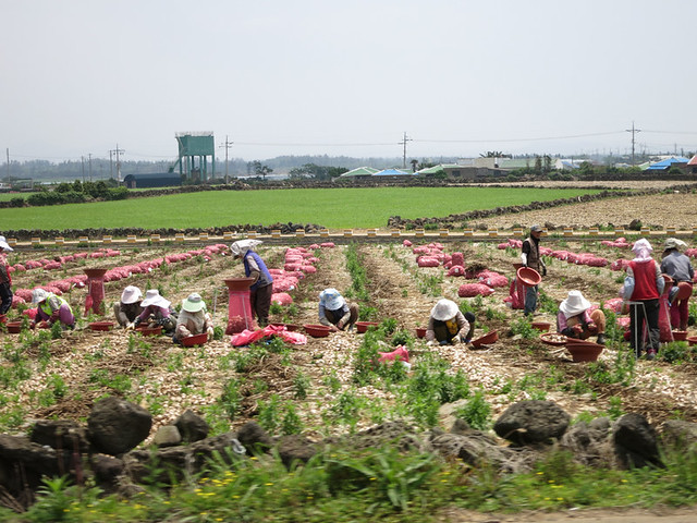 Farmers harvesting garlic.