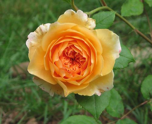 """David Austin English Rose """"Crown Princess Margareta."""" by Leenechan"""