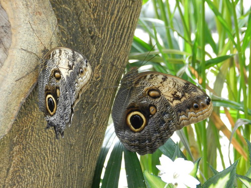 See the owl?  Owl butterflies
