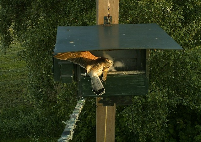 Male Kestrel with mouse