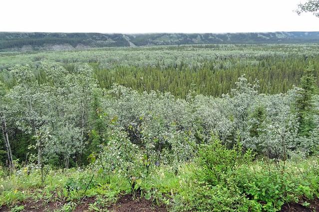 wrangell-st-elias-forest