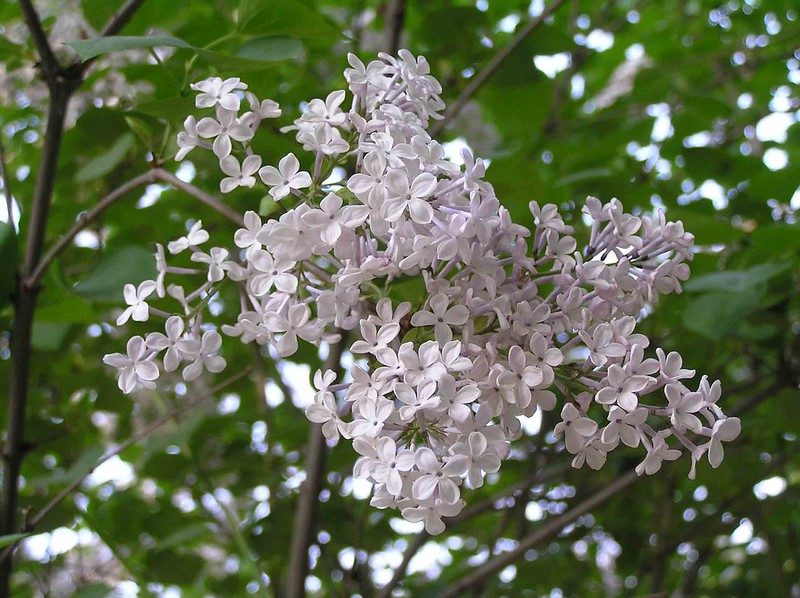 白丁香 Syringa oblata v alba [鄭州紫荊山公園 Zhengzhou, China]