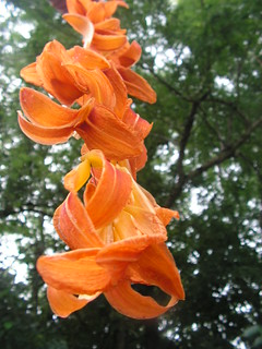 drying daylily petals