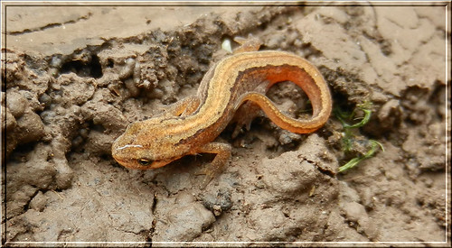 Young Smooth Newt
