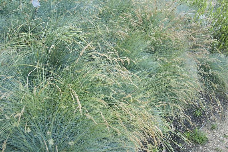 SFBG grasses 2