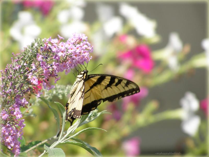 ~ butterfly love...