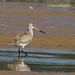 Fuselo - Limosa lapponica - Bar-tailed Godwit