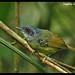 3080-Choquinha-de-peito-pintado (Dysithamnus stictothorax) - fêmea\ by Ana Gadini