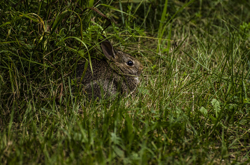 S. floridanus (Eastern Cottontail)