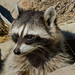 Small photo of Common Raccoon (Procyon lotor)
